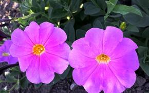 Picture the evening, June, Petunia