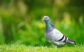 Picture greens, grass, bird, glade, dove