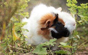 Picture grass, nature, Guinea pig