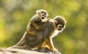 Picture look, pose, background, baby, monkey, monkey, monkeys, cub, mom, bokeh, monkeys