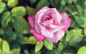 Picture drops, Rosa, pink, rose, Bud, gentle