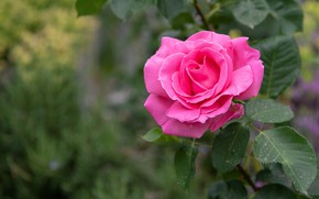 Picture flower, leaves, background, pink, rose, garden, bokeh