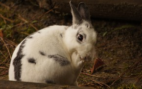 Picture white, look, pose, the dark background, background, earth, rabbit, cute, log, face, Bunny, rodent, foot, …