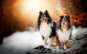 Picture winter, autumn, forest, dogs, look, face, leaves, snow, branches, nature, Park, two, dog, pair, a …
