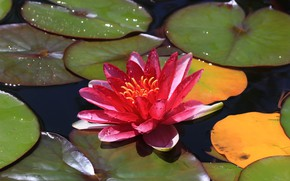 Picture leaves, Lotus, water Lily