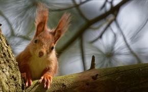 Picture look, squirrel, Animals, curious
