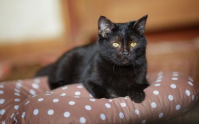 Picture cat, look, kitty, black, muzzle, cute, pillow, kitty, yellow eyes