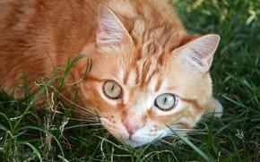 Picture grass, cat, look, red, muzzle, cat, глазиша