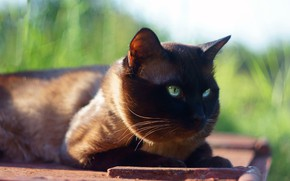Picture cat, grass, cat, the sun, background, muzzle, lies, green-eyed, Siamese