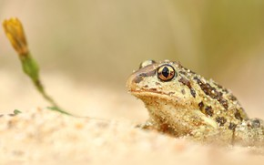 Picture sand, flower, look, background, frog, toad, grit