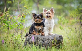 Picture dogs, summer, grass, pose, stone, two, Duo, friends, two dogs, Yorkshire Terrier