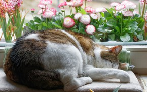 Picture cat, cat, flowers, pose, comfort, house, sleep, window, sleeping, lies, sill, litter, Daisy, spotted, curled …