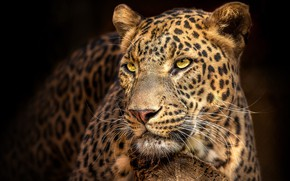 Picture look, face, the dark background, portrait, leopard, handsome