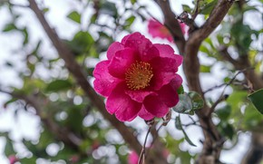Picture flower, leaves, drops, light, branches, pink, bokeh, Camellia
