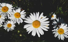 Picture Flowers, Nature, Summer, Chamomile, Nature, Flowers