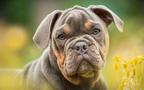 Picture look, flowers, background, dog, puppy, bulldog, face