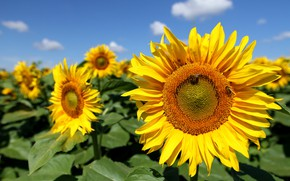 Picture field, sunflowers, flowers, yellow, sunflower, blue sky, bees