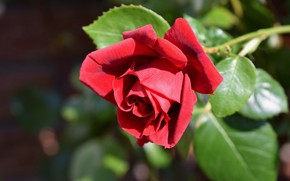 Picture flower, leaves, light, background, rose, garden, Bud, red, scarlet, bokeh