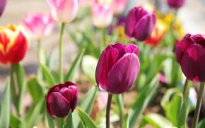 Picture flowers, Tulip, spring, tulips, pink, flowerbed, bokeh