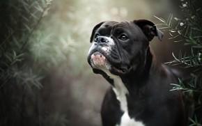 Picture look, face, portrait, dog, bokeh, Boxer