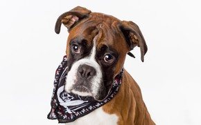 Picture boxer, breed, dog
