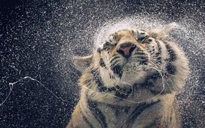 Picture WATER, DROPS, TIGER, FACE, SQUIRT, DROOL