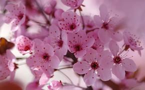 Picture macro, flowers, branches, cherry, background, blur, spring, petals, Sakura, pink, flowering, a lot, bokeh, drain