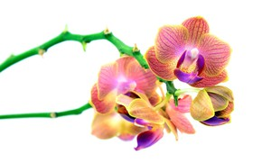 Picture flowers, white background, orchids