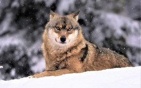 Picture winter, snow, wolf