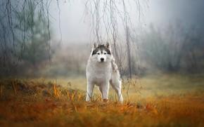 Wallpaper autumn, grass, look, branches, nature, fog, dog, husky, Siberian husky