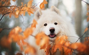 Picture autumn, look, leaves, branches, nature, portrait, dog, blur, puppy, white, face, bokeh, Samoyed