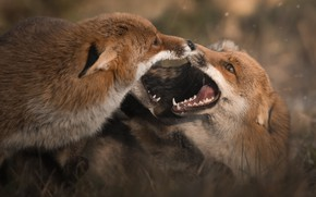 Picture look, face, close-up, nature, pose, the game, two, fight, mouth, Fox, pair, Fox, teeth, muzzle, …