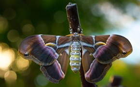 Picture background, pattern, butterfly, wings, insect, bokeh, bitch, Emperor moth