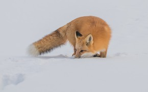 Picture winter, look, snow, nature, pose, Fox, tail, the snow, red