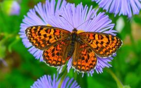 Wallpaper Butterfly, Macro, Butterfly, Macro., Asters, Asters