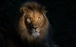 Picture look, portrait, Leo, black background