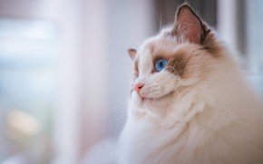 Picture cat, cat, look, face, kitty, background, portrait, light, kitty, blue eyes, ragdoll