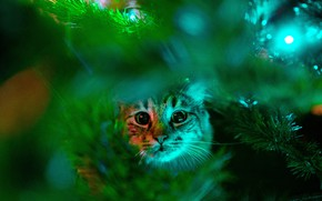 Picture greens, cat, cat, look, face, branches, Christmas, New year, tree, needles, bokeh