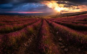 Picture flowers, lavender, plantation, lavender field