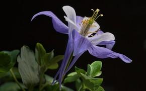 Picture flower, black background, the catchment, Aquilegia
