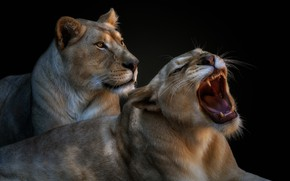 Picture pair, grin, lioness