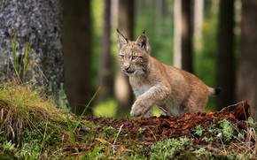 Picture forest, moss, lynx, wild cat, a small lynx, a small lynx, trash