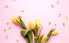 Picture flowers, yellow, tulips, pink background, yellow, pink, flowers, tulips, spring