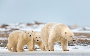 Picture winter, white, snow, nature, pose, bear, bears, three, kids, bears, polar bear, trio, polar bears, …