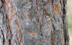 Picture grey, tree, ant, bark, pine, amber