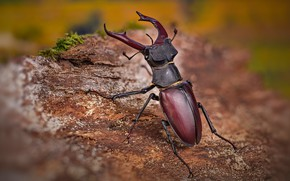 Picture macro, beetle, blur, insect, bark, stag beetle