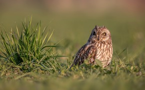 Picture grass, background, owl, bird, Short-eared owl
