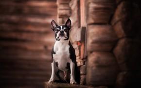 Picture dog, hut, Boston Terrier