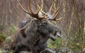 Picture forest, nature, moose