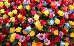 Picture bright, roses, yellow, blue, red, pink, buds, colorful, a lot